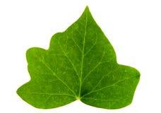 liść bluszczu Obraz Stock