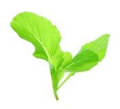 Liść choy suma chiński warzywo odizolowywający na bielu jakby Obraz Royalty Free