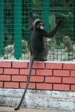 liść ciemniusieńka małpa zdjęcia stock