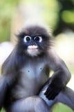 liść ciemniusieńka małpa Obraz Royalty Free