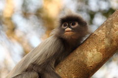 liść ciemniusieńka małpa Zdjęcie Stock