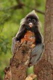 liść ciemniusieńka małpa Obrazy Royalty Free