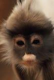 liść ciemniusieńka małpa Fotografia Stock