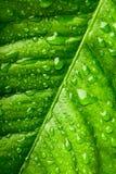 liść cytryna Zdjęcia Stock