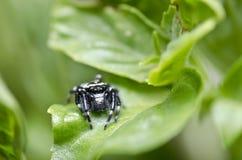 liść czarny zielony pająk Zdjęcie Royalty Free