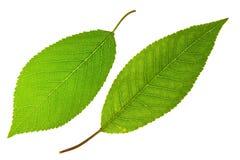 liść czereśniowy cukierki Obrazy Royalty Free