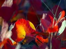 liść czerwień Zdjęcia Royalty Free