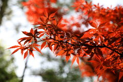 liść czerwień Zdjęcie Stock