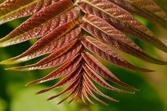 liść czerwień Fotografia Royalty Free