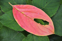 liść czerwień Zdjęcia Stock