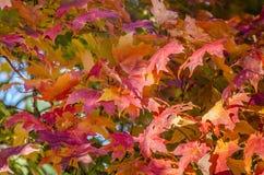 Liść, czerwony klonowy drzewo Zdjęcia Stock
