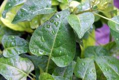 liść deszcz Obrazy Stock
