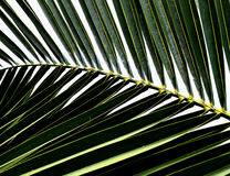liść drzewko palmowe Zdjęcia Royalty Free