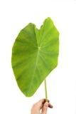 liść duży taro Zdjęcia Royalty Free
