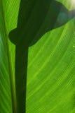 liść duży tekstura Zdjęcia Royalty Free