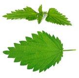 liść gałęziasta pokrzywa Zdjęcia Stock