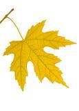 liść gałęziasty kolor żółty Fotografia Royalty Free