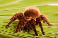 liść gigant pająk obraz royalty free