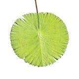 liść gigantyczny staw Fotografia Royalty Free