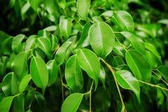 Liść gumowa roślina zdjęcie stock