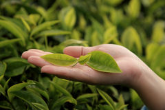 liść herbata Obraz Stock