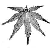 liść japoński klon Zdjęcia Royalty Free