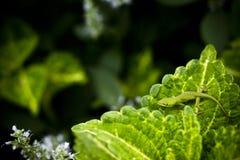 liść jaszczurka Obraz Royalty Free