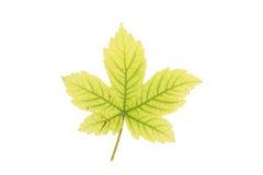 liść jawor Obraz Royalty Free