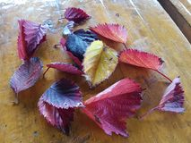 Liść jesieni ogród Obrazy Royalty Free