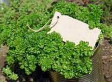 liść kędzierzawa pietruszka Obraz Royalty Free