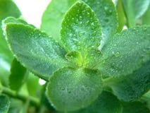liść Kalanchoe Zdjęcia Royalty Free