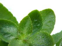 liść Kalanchoe Zdjęcie Stock