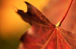 liść klon Zdjęcie Royalty Free