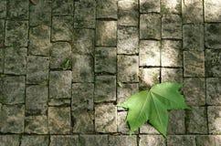 liść klon Obrazy Stock