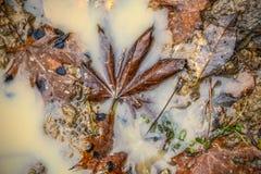 Liść klon unosi się w basenie upadek bystre liście piękny obrazek КД ÐΜÐ ½ Ð ¾ Ð ² Ñ ‹Ð ¹ Д Ð¸Ñ  Ñ 'Ð ² Д уже Ð ¾ Ñ  ÐΜÐ obraz stock