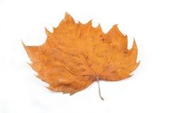 liść klonowy Zdjęcie Royalty Free