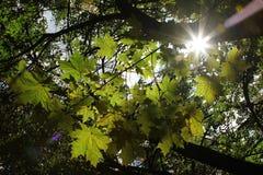 Liść klonowy i sunbeam Obraz Stock
