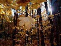 Liść klonowy na drzewie na słonecznym dniu zdjęcie royalty free