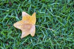 Liść klonowy na mokrym trawy tle fotografia stock