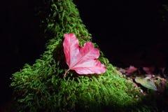 Liść klonowy na zielonej rośliny tle Obrazy Royalty Free