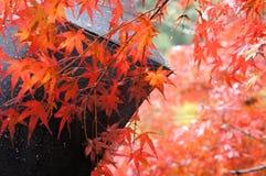 Liść klonowy w Kyoto, Jpan zdjęcie royalty free