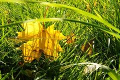 Liść klonowy w trawie Obrazy Royalty Free