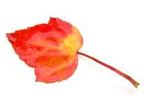 liść klonu czerwień Zdjęcie Stock