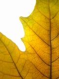 liść kolor żółty Zdjęcie Stock