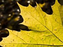 liść kolor żółty Obrazy Royalty Free