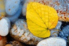 liść kolor żółty Zdjęcia Royalty Free