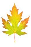 liść kolorowy klon Zdjęcie Royalty Free
