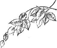 Liść kolorystyki książki Dorosłego czerni nakreślenia Biała kreskówka ilustracji