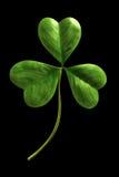liść koniczynowy Zdjęcie Royalty Free