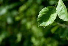 liść kropelkowa woda Fotografia Stock